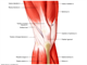 Knee   Muscles and tendons anterior view superficial